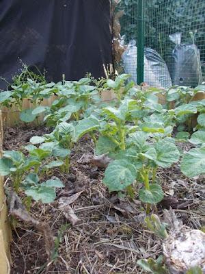 Le patate sono l'ortaggio più facile da coltivare