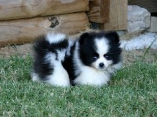 Cute Dogs: Pomeranian Husky Mix