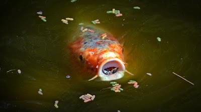 Mekanisme Penyerapan Sari Makanan Oleh Ikan