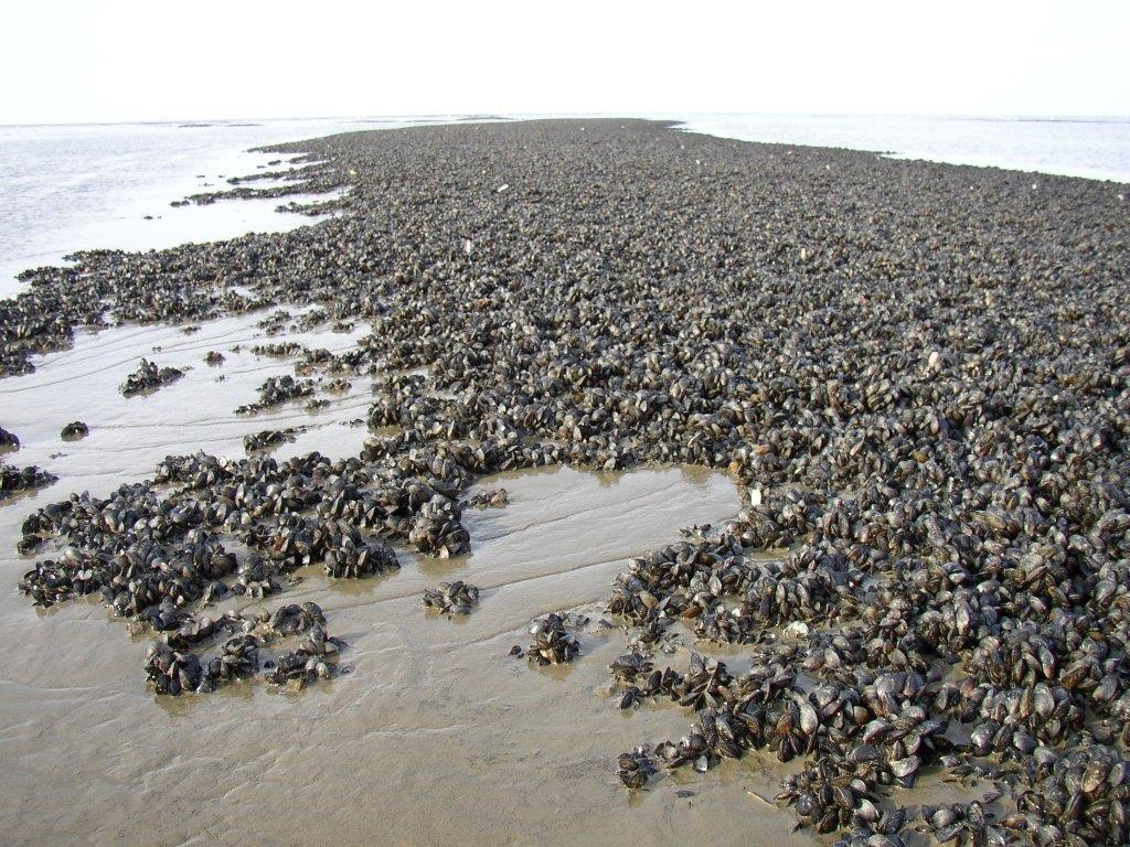 39 zien en weten 39 tweekleppige schelpdieren for Substraat betekenis