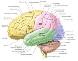Human brain: Structure and Function of the Human Brain