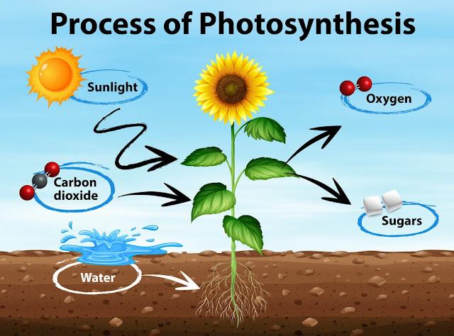 Schema della Fotosintesi Clorofilliana