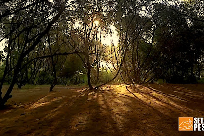 Jual Pohon Cemara Yogyakarta
