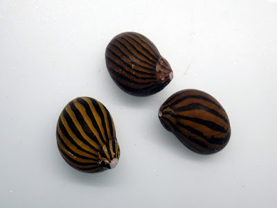 斑馬螺,虎紋螺
