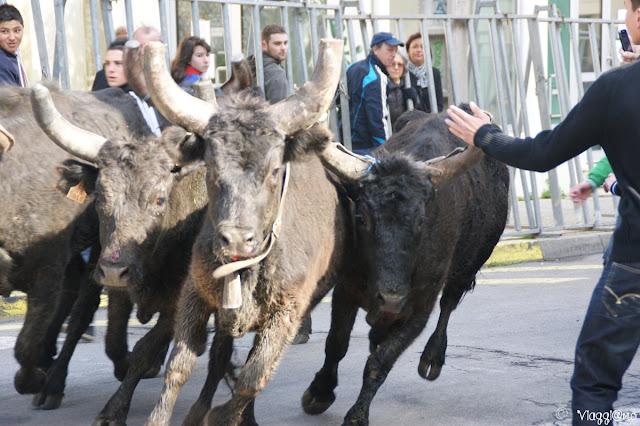 La corsa dei tori nelle vie cittadine di Arles