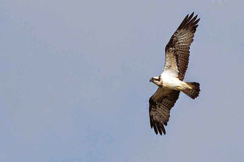 Sea Hawk, flying