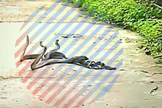 मानूसन की बारिश में मदहोश हुए 3 सांप, कैमरे में कैद हुई अनूठी रासलीला