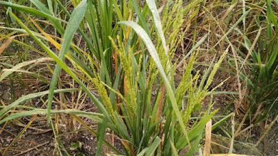 paddy field pictures