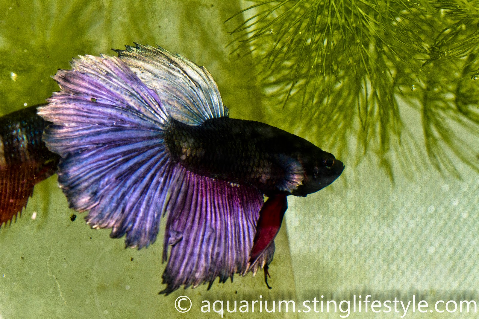 Set of Japanese Fighting Fish Pictures for Your Project on ...