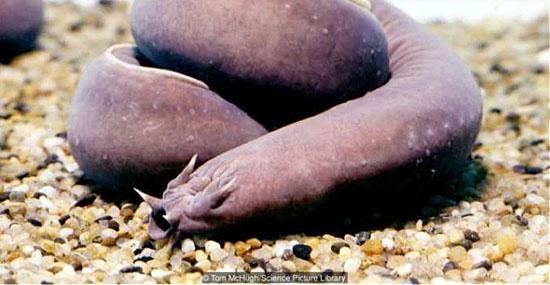 Bizarro animal marinho dá nó no próprio corpo para comer - Myxini - Peixe bruxa