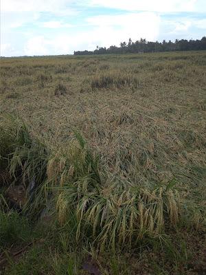 Akibat Hujan, Tanaman Padi Rebah di Tiga Kecamatan