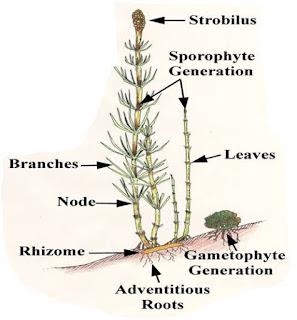 Equisetum Plant body
