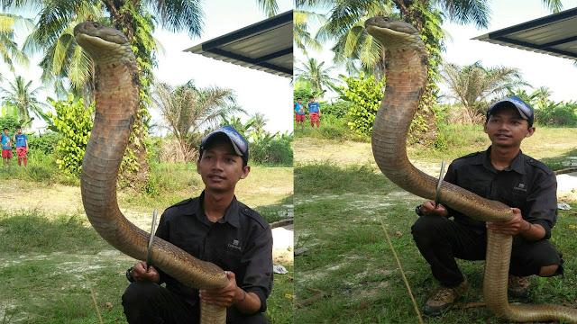 Ular King Kobra Sepanjang 4 Mete