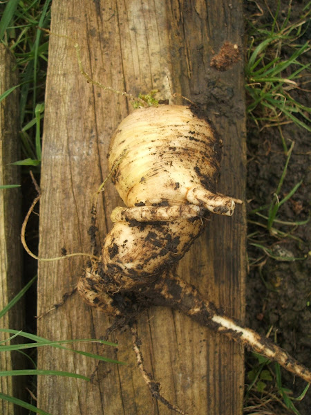 December, Allotment, wonky parsnips, parsnips, root vegetables, growing, muddy, plot