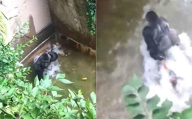 Gorila arrasta criança no zoo de Cincinnati