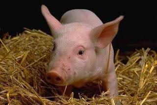 معنى الخنزير في منام المتزوجة