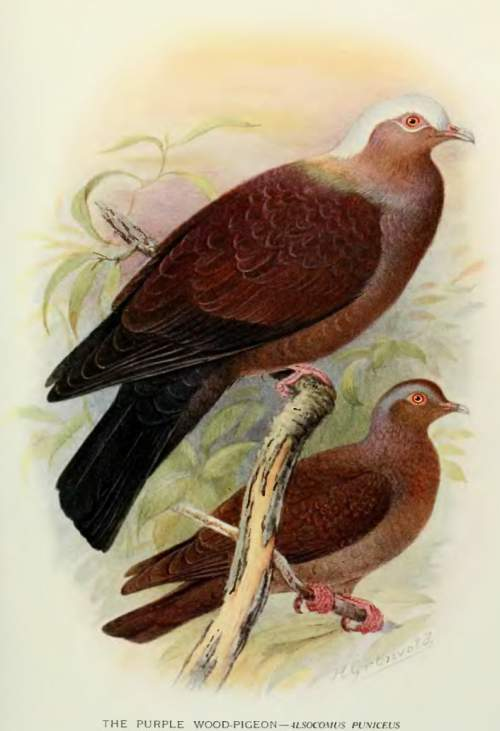 Indian birds - Pale-capped pigeon - Columba punicea