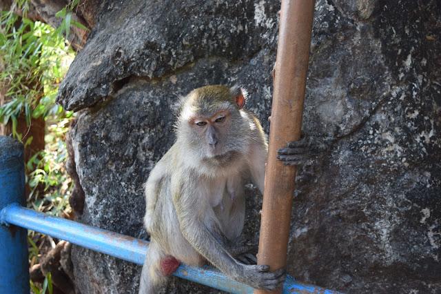 wild monkey thailand