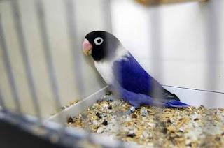 lovebird bagus, lovebird indah