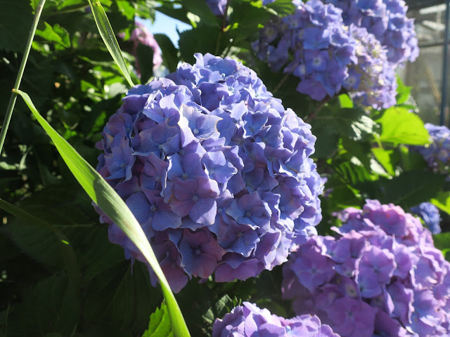 Blue Hydrangea flower - on bush where some are purple