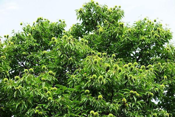 白川郷 栗の木