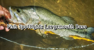 Ryan Gold, Largemouth Bass, Northern Strain Largemouth Bass, Florida Strain Largemouth Bass, Largemouth Bass in Texas, Bass on the Fly, Fly Fishing for Bass, Texas Bass Fishing, Texas Fly Fishing, Fly Fishing Texas, Texas Freshwater Fly Fishing, Fish Spotlight