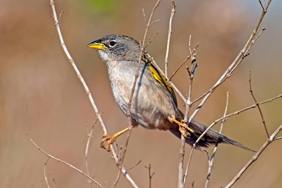 Grey cheeked Grass finch