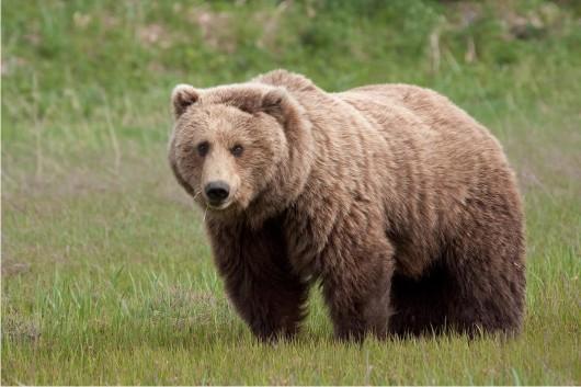 الدب الأسود الأمريكي
