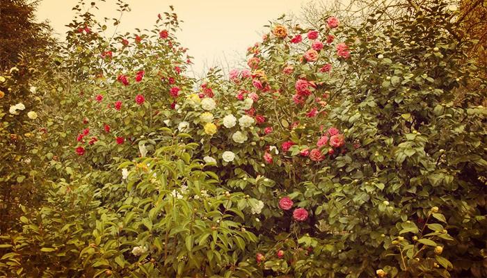 Flor de camelias