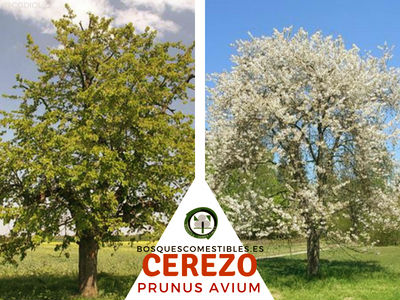El Cerezo, Prunus avium, árbol frutal de la familia Rosaceae