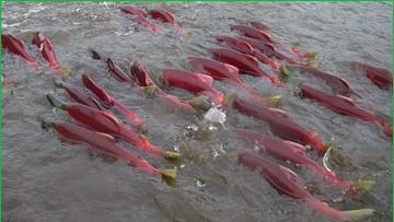 ikan salmon bermigrasi menuju tempat kelahirannya dengan mengingat medan magnet di sekitar sungai yang pernah dilalui