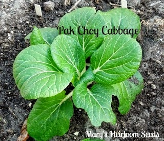 http://marysheirloomseeds.com/heirloom-cabbage.html
