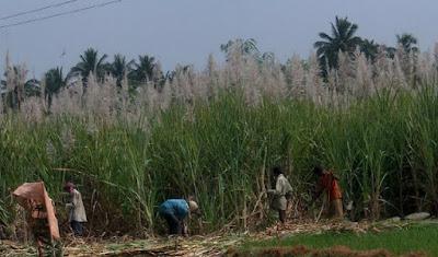 Harvesting sugar canes.