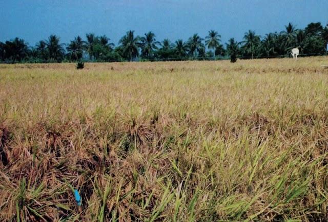 Meningkatkan Kualitas Dan Produksi Padi Dengan System of Rice Intensification