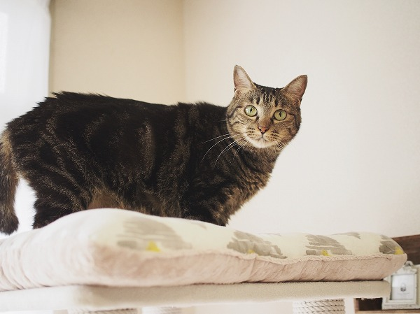 キャットタワーのてっぺんからこっちを見ているキジトラ猫