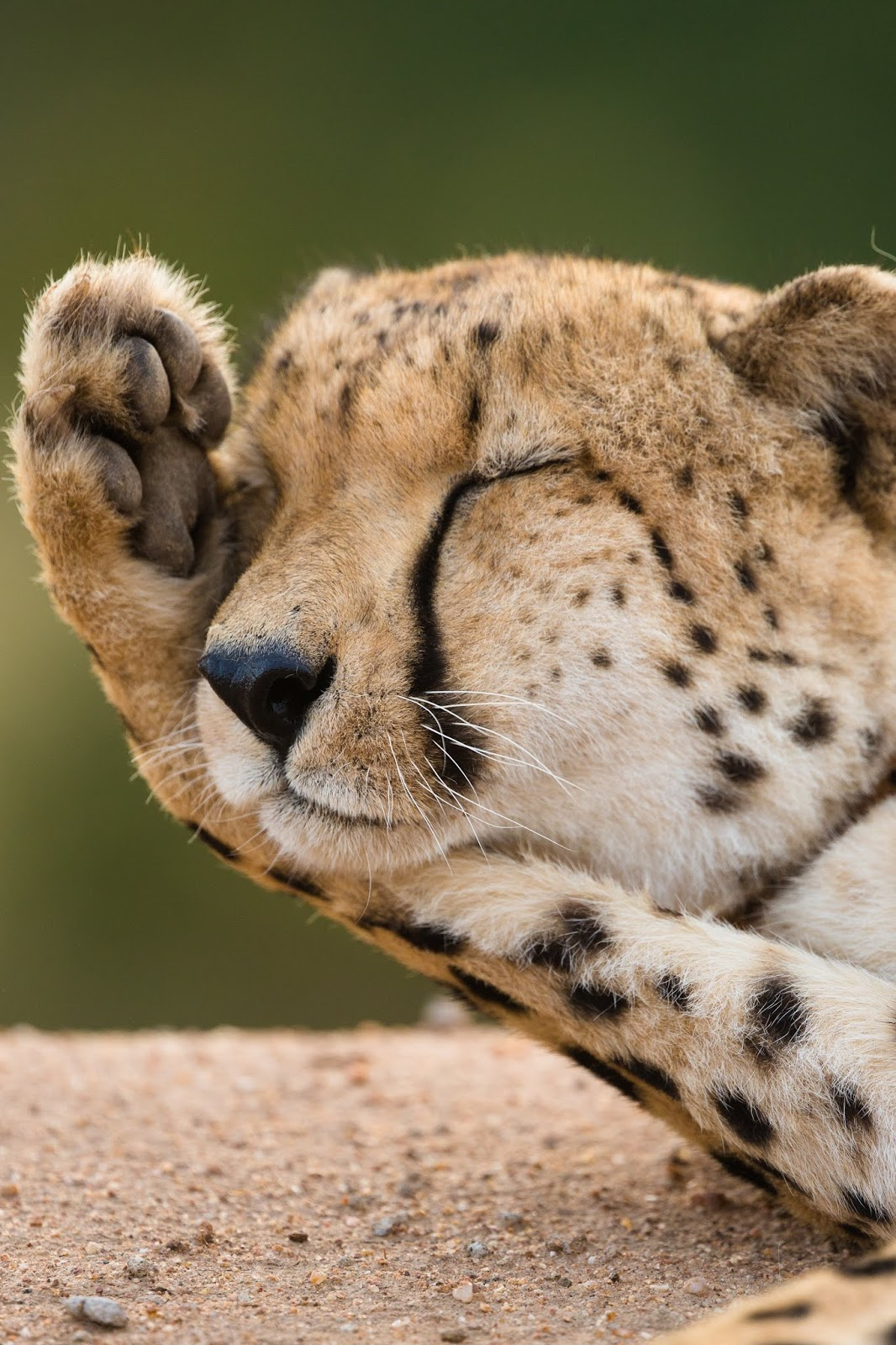 Picture of a sleepy cheetah.