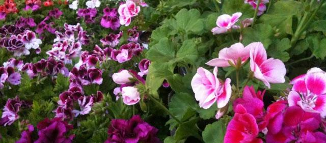 Το λουλούδι με τις «υπερδυνάμεις» που μπορεί να νικήσει μέχρι και τον καρκίνο