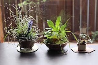お手入れ前の三つの山野草盆栽