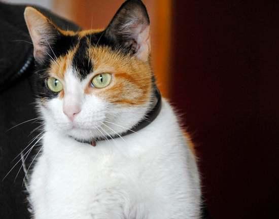gata-tricolor-mayormente-hembras