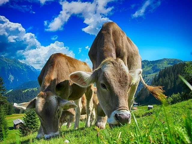 150 Weird Facts About Cows