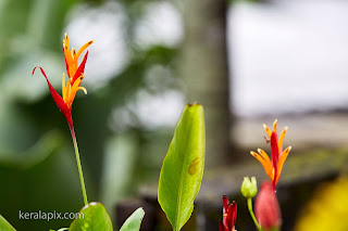 Heliconia Flower in our home garden
