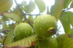 Benefits of Guava Leaf for Acne and How to Make it