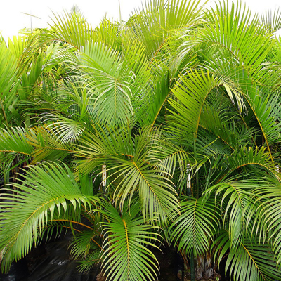 Arecca palm plant help to remove bad indoor air pollution