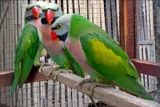 Kisaran Harga Terbaru Burung Betet Saat Ini 2017 Paling Lengkap