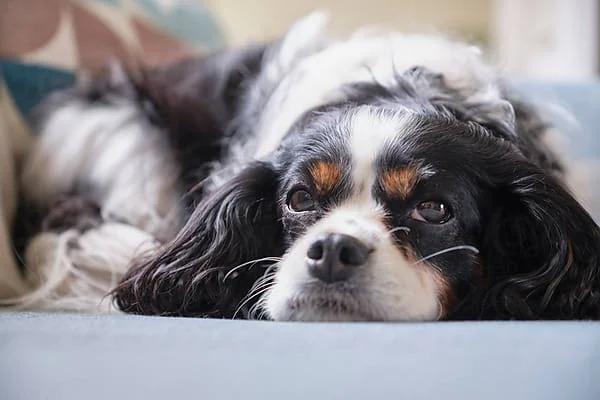 Mujer llama a la policía porque su perro había desaparecido; el lomito llevaba 2 días atorado en el sillón