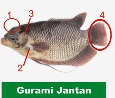 Gurami jantan, Cara Membedakan Kelamin Ikan Gurami Jantan dan Betina, Membedakan Kelamin Ikan Gurami Jantan dan Betina,