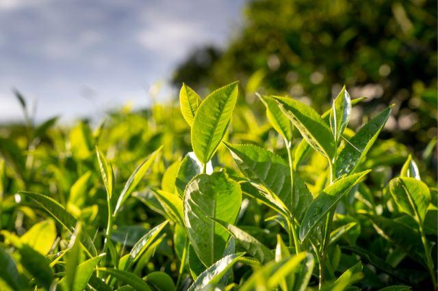 melaleuca alternifolia leaf water