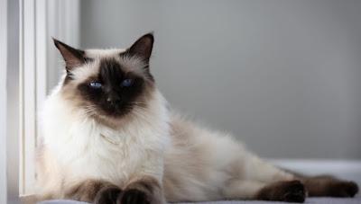 Kucing Balinese