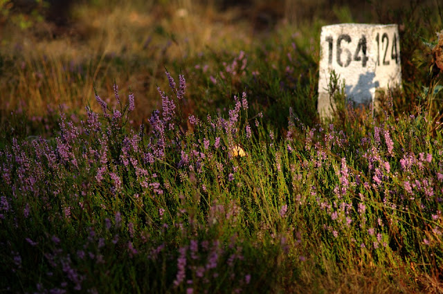 El brezo, diurético y contra las afecciones urinarias