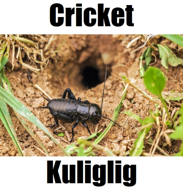 Cricket in Tagalog